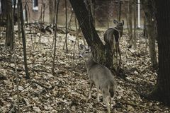 White Tailed Deer. A Vintage Mood View of a Herd of Deer Grazing at a Backyard, wild, acapulco, america, animal, antlers, baby, borealis, buck, calf, cervidae stock photos