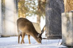 White Tailed Deer. Or Virginia deer digging the snow in search of grass, wild, acapulco, america, animal, antlers, baby, borealis, buck, calf, cervidae, cow stock photos