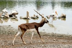 White-tailed deer walking by the marsh. White-tailed deer walking by the marsh with bird stock photos