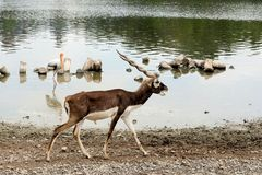 White-tailed deer walking by the marsh. White-tailed deer walking by the marsh with bird Royalty Free Stock Photo