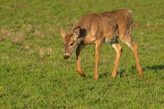 White-tailed Deer. Walking in an open field. Lynde Shores Conservation Area, Whitby, Ontario, Canada Stock Images