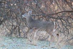 White-Tailed Deer on a Frosty Day in Winter stock photo