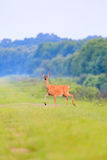 White-tailed deer walks out from thick brush at the Bald Knob Wildlife Refuge in Bald Knob stock photography