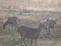 White Tailed Deer in Washington State. Three bucks near a wheat field in Washington State Royalty Free Stock Photo