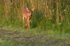 White-tailed Deer. Fawn walking along the edge of a mown field. Lynde Shores Conservation Area, Whitby, Ontario, Canada Royalty Free Stock Photos