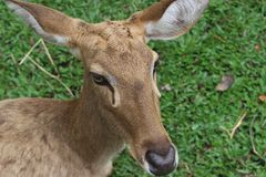 White-tailed deer. Lies on the grass. She is not afraid of people at all. There are no horns on the head, female. Green background royalty free stock images