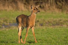 White-tailed Deer. Standing in an open field. Lynde Shores Conservation Area, Whitby, Ontario, Canada Royalty Free Stock Images