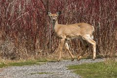 White-tailed Deer. Walking on a path. Lynde Shores Conservation Area, Whitby, Ontario, Canada Stock Photo