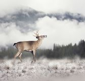 White-tailed deer. In winter Stock Images