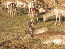 The White tailed Deer Stock Photo