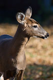 White Tailed Deer in the Wild Royalty Free Stock Photos