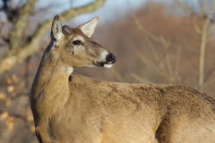 White Tailed Deer in the Wild Royalty Free Stock Photo