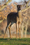 White Tailed Deer in the Wild Stock Photography