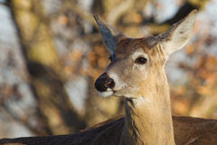 White Tailed Deer in the Wild Stock Images