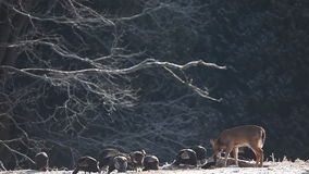 White-tailed Deer and Wild Turkey feeding in the snow stock video footage