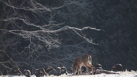White-tailed Deer and Wild Turkey feeding in the winter. A White-tailed Deer and Wild Turkey feeding in the winter stock footage