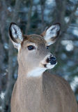 White-tailed deer portrait in winter Royalty Free Stock Image