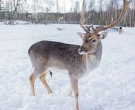 Portrait of a white-tailed deer in winter against the background of white snow royalty free stock photos