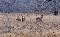 White-tailed deer in winter on a field. In Ontario, Canada Royalty Free Stock Image