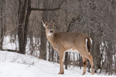 White tailed deer in winter Stock Photography