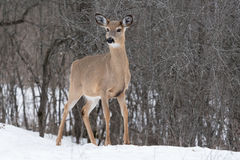 White tailed deer in winter Royalty Free Stock Photos
