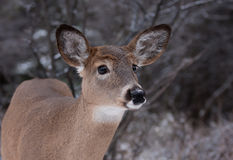 White-tailed deer in the snow Royalty Free Stock Image
