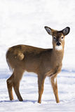 White-Tailed Deer in Winter. A young deer gazes at a photographer in the town of Gore Bay on Manitoulin Island. The white-tailed deer population on the island Royalty Free Stock Image
