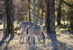 White-Tailed Deer in the woods Royalty Free Stock Photos
