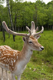 White tailed deer Royalty Free Stock Image