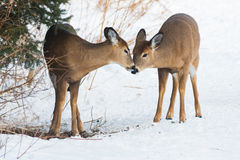 White-tailed Deer. Young White-tailed Deer sharing a kiss. Lynde Shores Conservation Area, Whitby, Ontario, Canada Royalty Free Stock Images