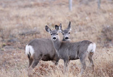 White tailed deers Royalty Free Stock Image