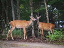 White-tailed deers in Parc National du Mont-Tremblant Royalty Free Stock Image