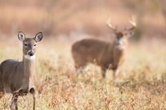White-tailed doe and buck. A white-tailed doe in the foreground with large buck background in meadow in Smoky Mountains National Park royalty free stock images