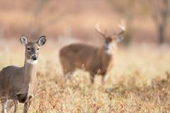 White-tailed doe and buck. A white-tailed doe in the foreground with large buck background in meadow in Smoky Mountains National Park royalty free stock image
