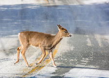 A white-tailed doe deer crosses the road Royalty Free Stock Photos