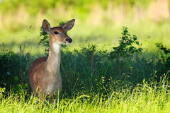 White-tailed Doe 1 Stock Photography