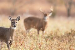 White-tailed doe and buck. A white-tailed doe in the foreground with large buck background in meadow in Smoky Mountains National Park royalty free stock photos
