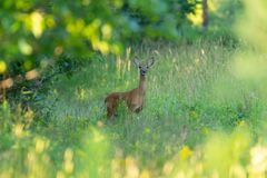 White tailed doe framed by leaves Royalty Free Stock Photo
