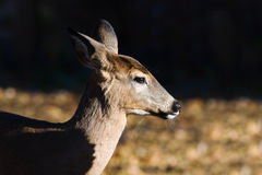 White-tailed doe (Odocoileus virginianus). Royalty Free Stock Photo