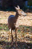 White-tailed doe (Odocoileus virginianus). Royalty Free Stock Photography