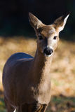 White-tailed doe (Odocoileus virginianus). Royalty Free Stock Image