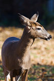 White-tailed doe (Odocoileus virginianus). Royalty Free Stock Photos
