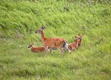 White-tailed doe with three fawns Stock Photo