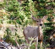 White tailed doe in trees Royalty Free Stock Photos