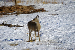 A White Tailed Doe in Winter Royalty Free Stock Images