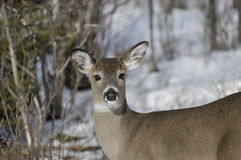 White-tailed Doe in Winter Horizontal. Close-up view of a female deer with a wintery background in horizontal format Stock Photos