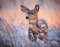 White-tailed doe. Winter morning on the high plains of Colorado stock photo