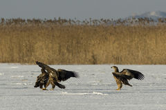 White Tailed Eagle Stock Photography