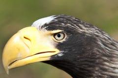 White-tailed Eagle. Portrait of white-tailed eagle Royalty Free Stock Image