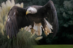 White Tailed Eagle. A White Tailed Eagle in flight Royalty Free Stock Photos